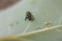 Ladybug larvae Eating aphid