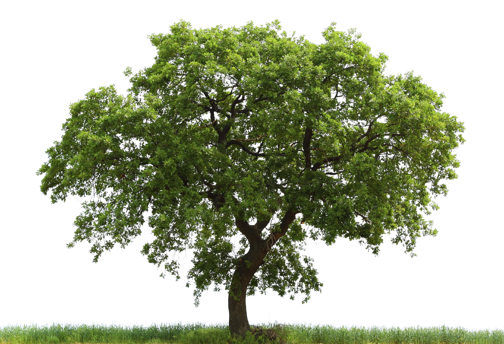 Tips to manage your native oak trees
